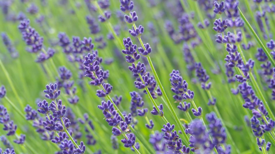 Beautiful lavender field with shallow depth of field