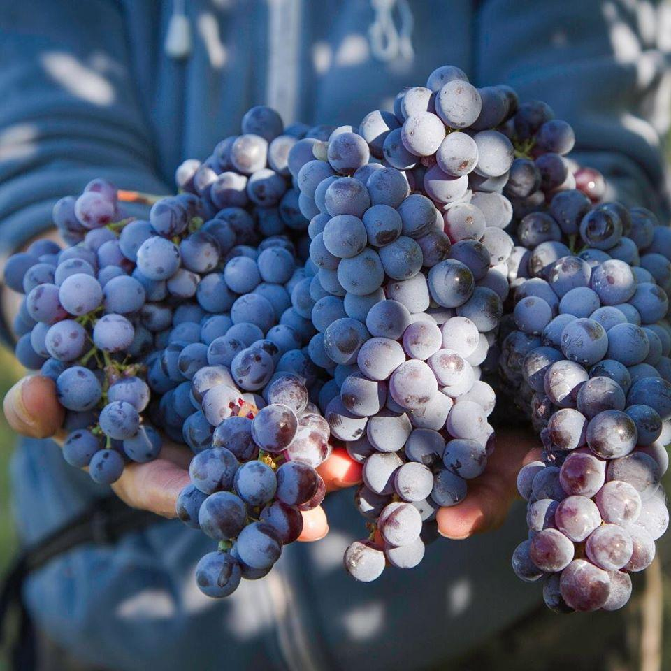 Nebbiolo Grapes at Fontanafredda in Barolo, Piedmont, Italy
