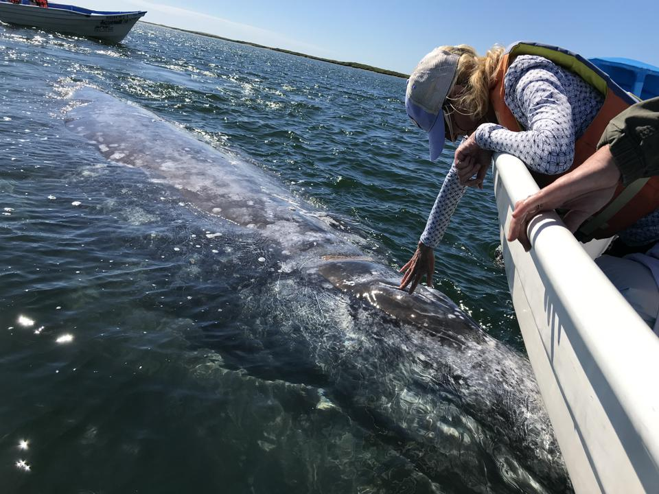 Reaching out to a grey whale