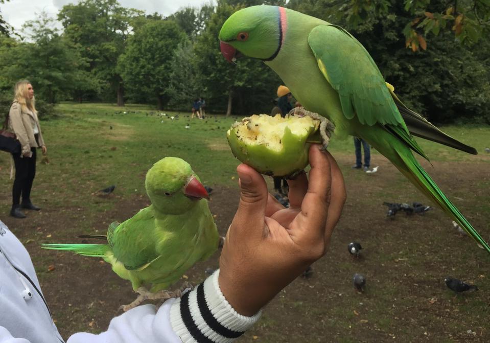 CROP_londonringneckedparakeetMattBrown