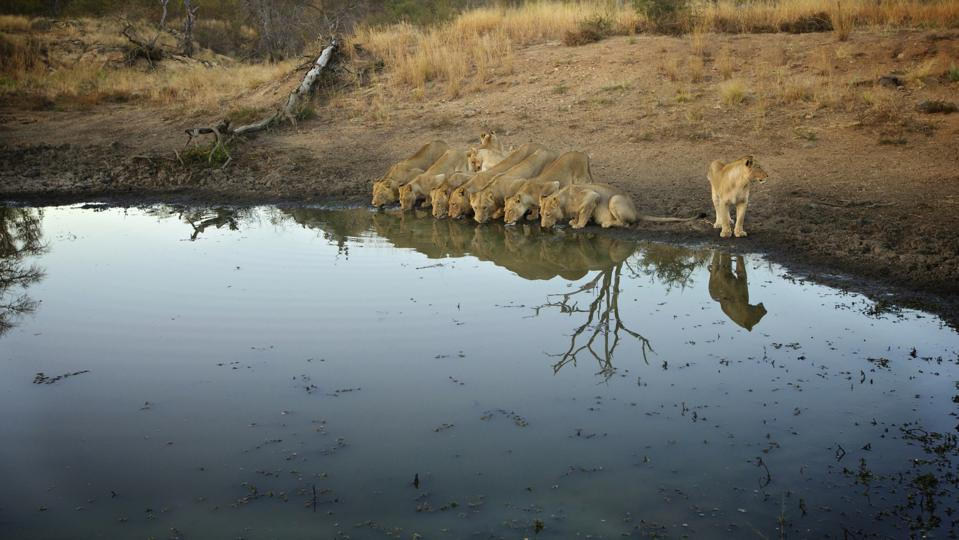 A pride of Lions drinking from a watering hole, Pondoro Game Lodge, Balule Private Nature Reserve, Limpopo. South Africa