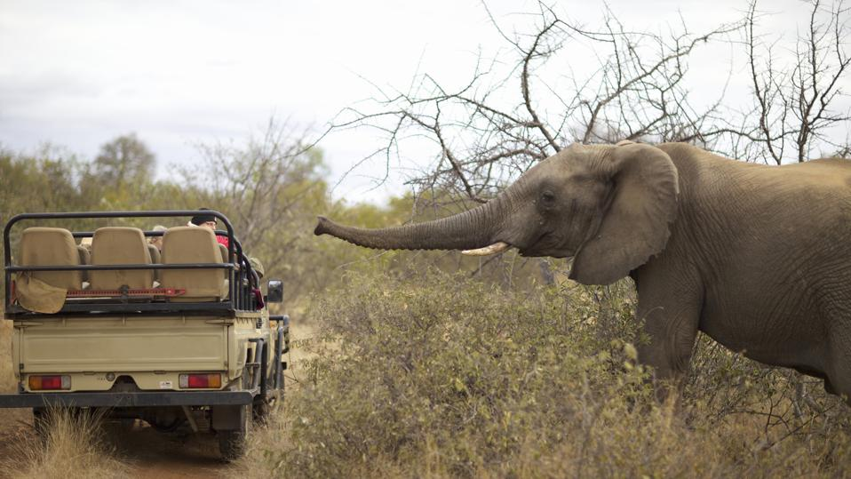 An Elephant walking towards a safari vehicle, Pondoro Game Lodge, Balule Private Nature Reserve, Limpopo. South Africa