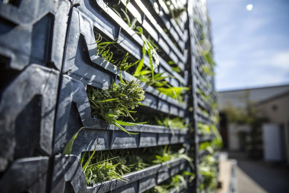 bins of freshly cut cannabis