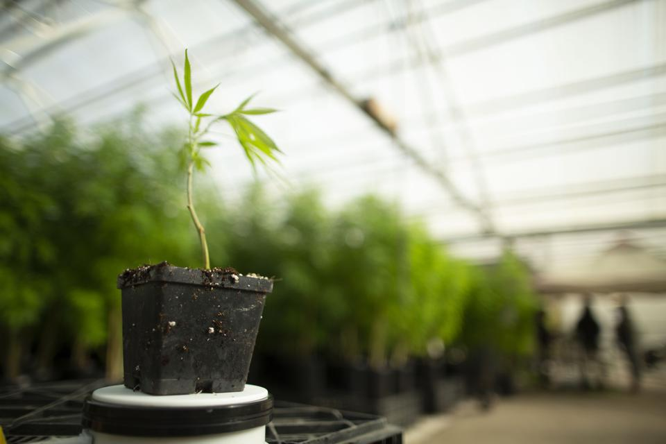 a baby cannabis plant in the greenhouse