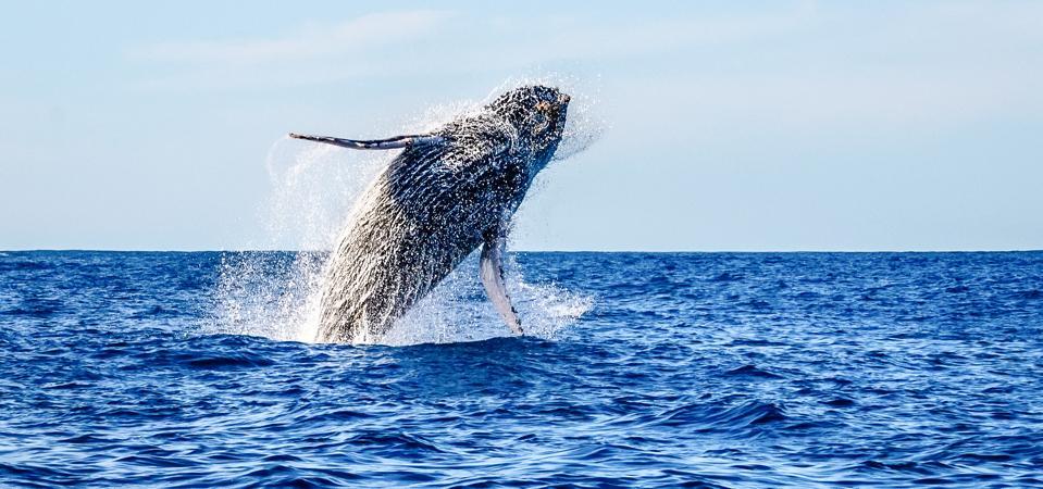 Eschrichtius robustus—a gray whale.