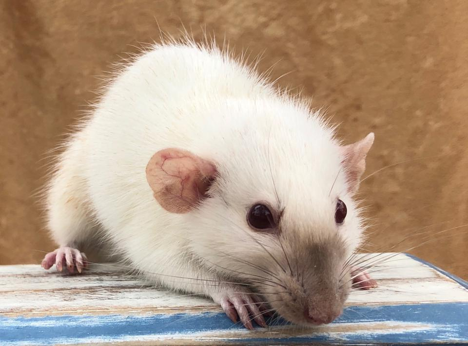 It's World Rat Day In The Year Of The Rat: Gratitude For Rats' Role In Biomedical Advances