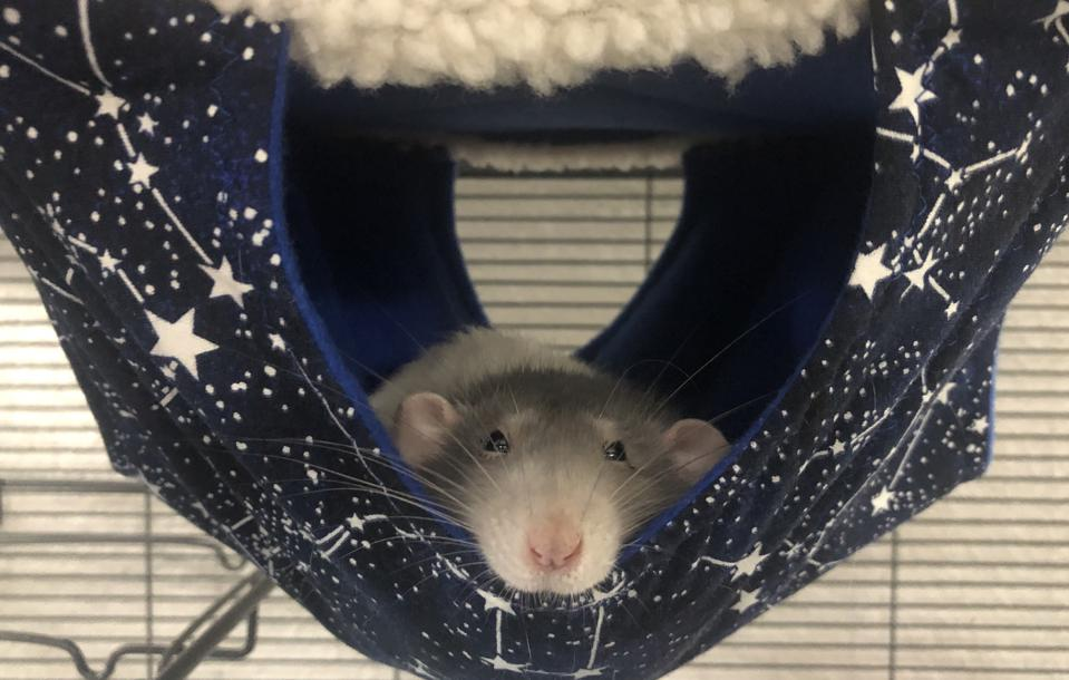 a rat sitting in a hammock in a cage with a gray head