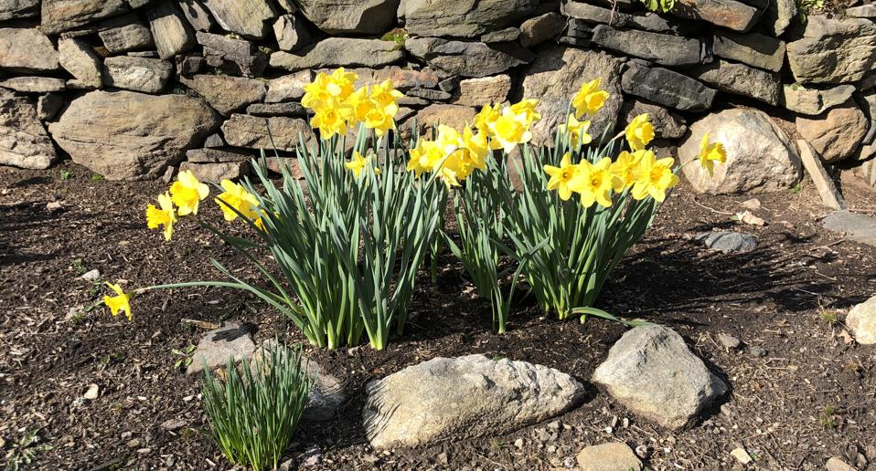Having patches of daffodils in the environment surrounding our children made us feel like they were somehow safer, than being in the city.