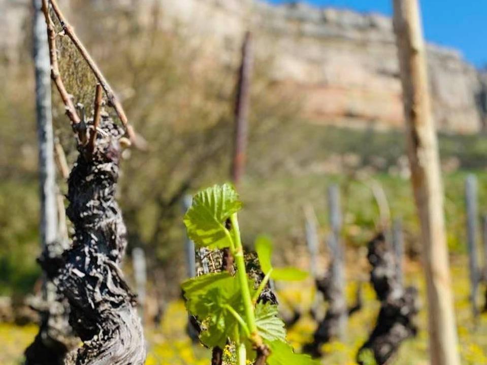 Bourgogne wine, Burgundy wine, spring vineyard, coronavirus, vineyard