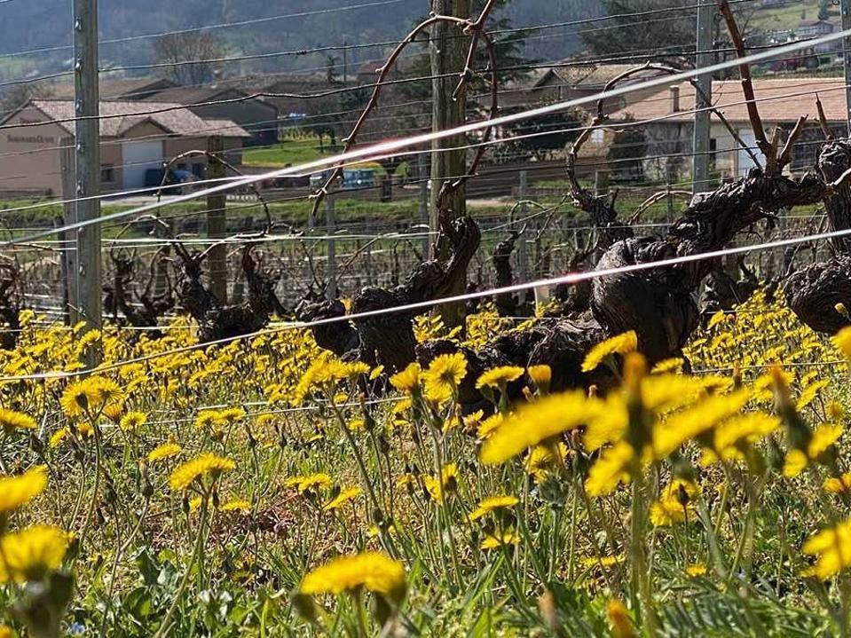 French wine, coronavirus, Burgundy wine, spring vineyard