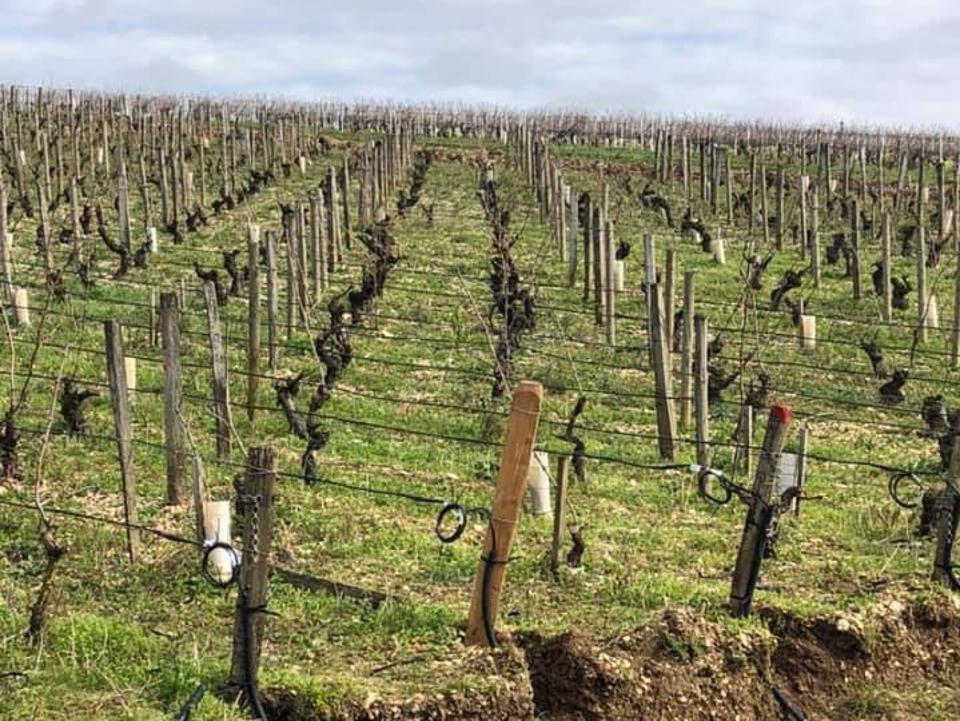 Chablis wines, frost in vineyard, French wine, Bourgogne