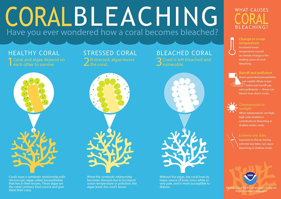 Coral bleaching explained U.S. National Ocean Service