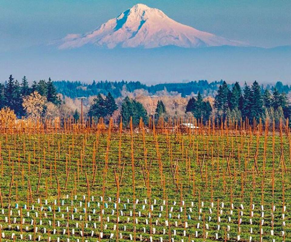 Lingua Franca vines, Oregon