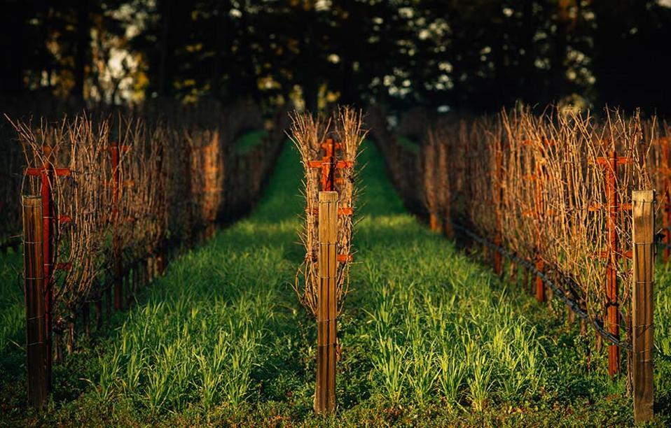 Marciano Estate vines, Napa Valley, California
