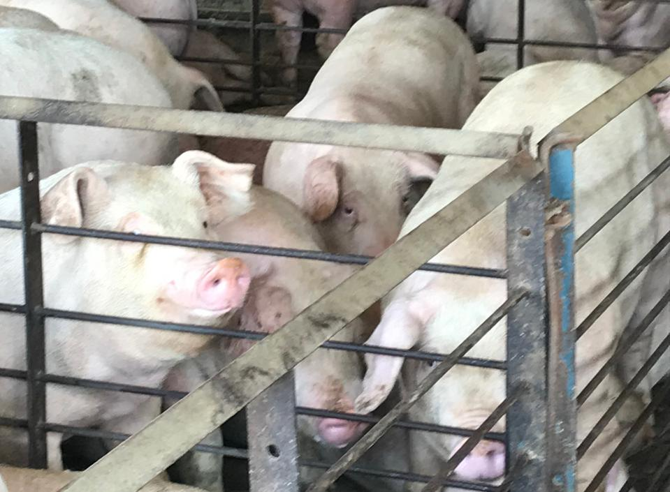 Farmed pigs kept in cages aren't healthy, so they are fed large doses of antibiotics.