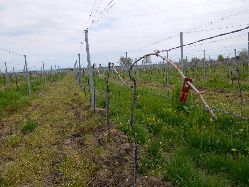 vineyard, organic vineyard, German wine