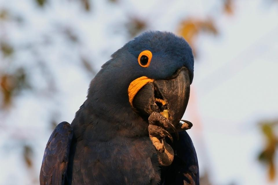 Hyacinth_macaw_(Anodorhynchus_hyacinthinus)_eating_nut