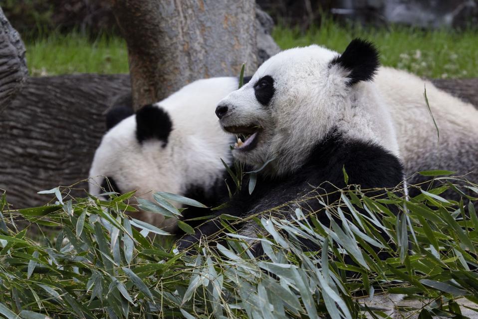 Giant Pandas at Zoo Atlanta