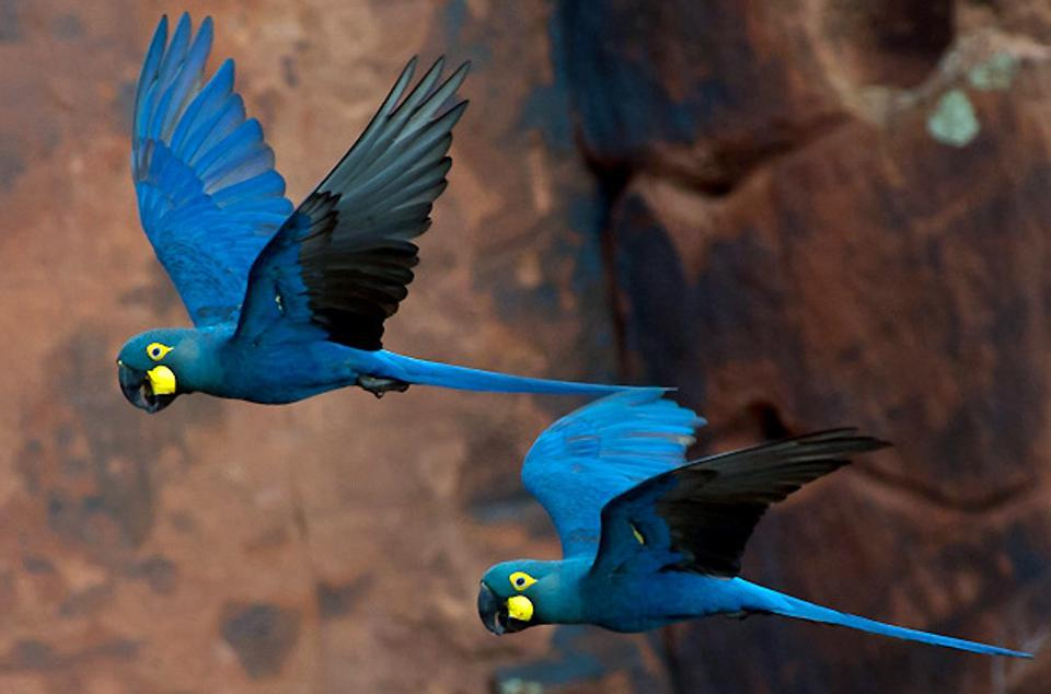 Lear's_Macaw_Anodorhynchus_leari_(cropped)