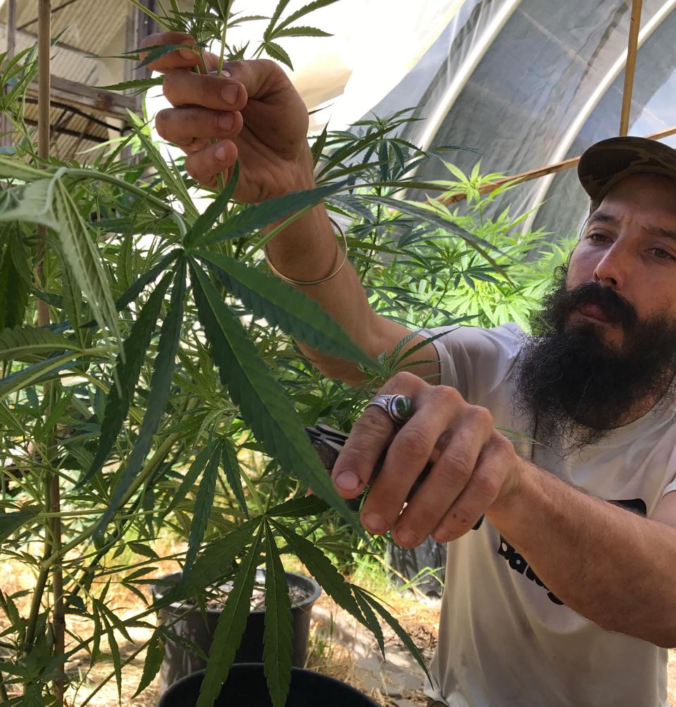 Troy is seen hand trimming his gorgeous cannabis for his selections
