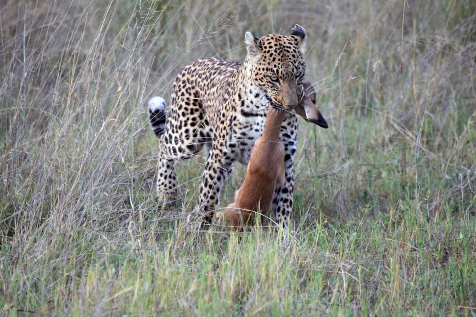 A leopard in Botswana brings food back to her leopard cubs.