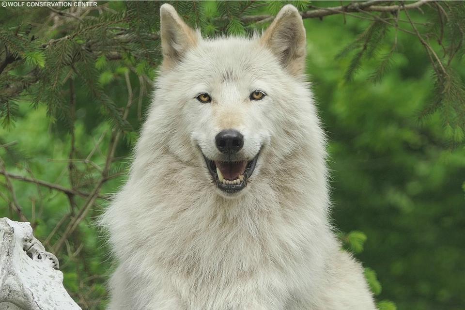 An ″Ambassador″ wolf in a private habitat.