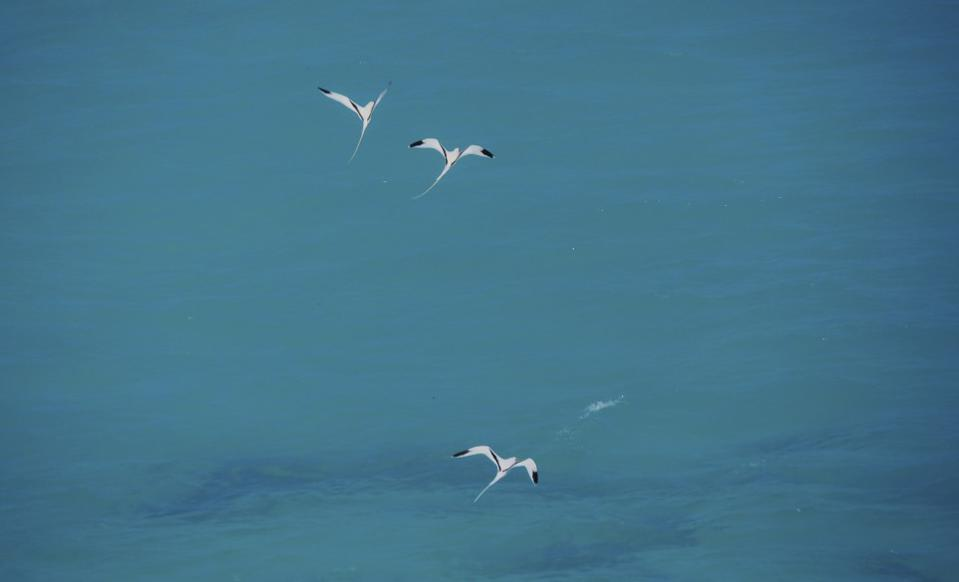 Nonsuch Bermuda Longtails in flight on a clear day.