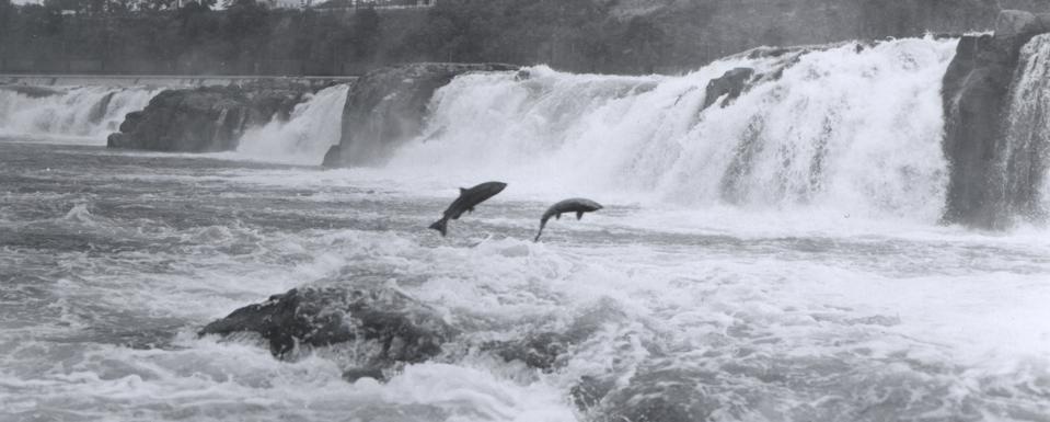 Pacific Salmon leaping at Willamette Falls, Oregon