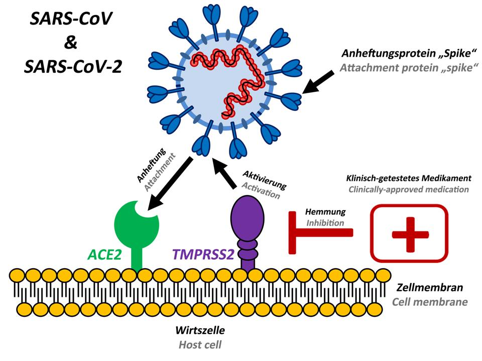 The spike protein of SARS-CoV and SARS-CoV-2 is activated by the protease TMPRSS2 before it binds to the ACE2 receptor.