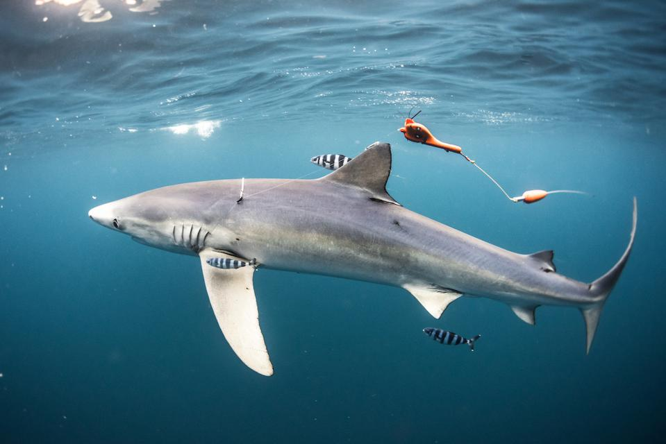 ULysse Nardin, Fred Buyle, blue sharks