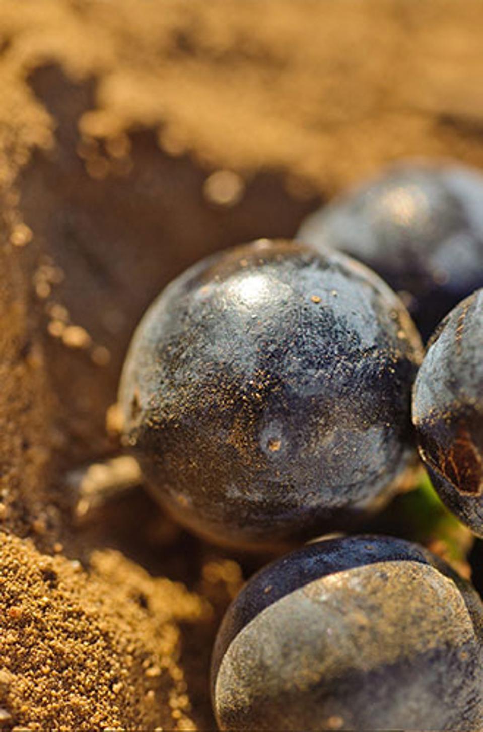 Susumaniello Grapes
