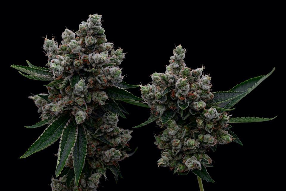 beautiful cannabis flowers