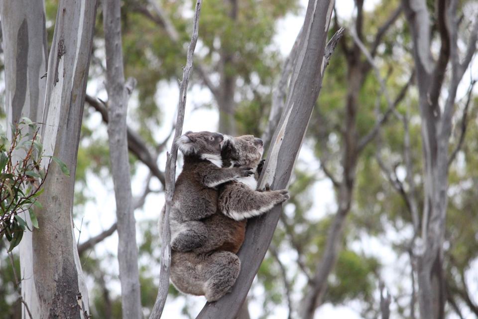 Koala with baby, Victoria, Australia