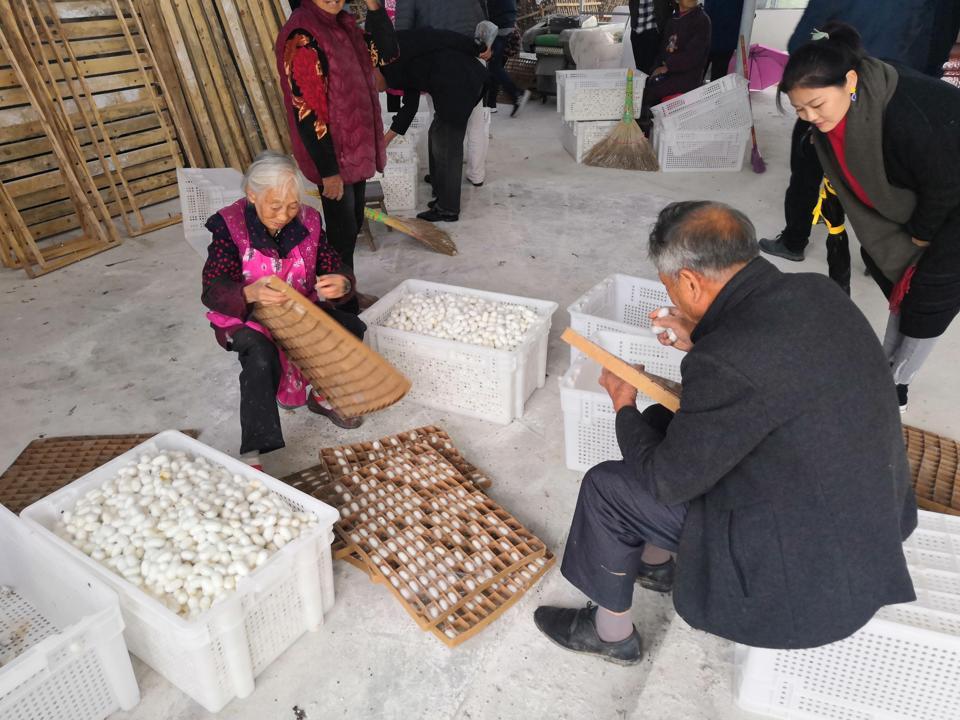 Bombyx silk cocoon harvesting