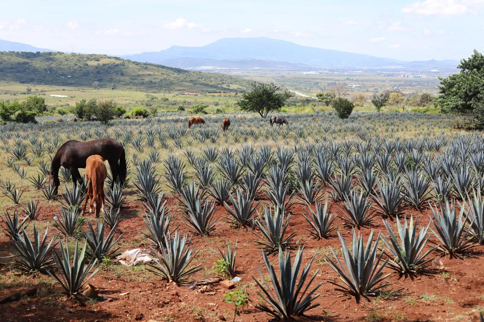 agave field with pastoral horses