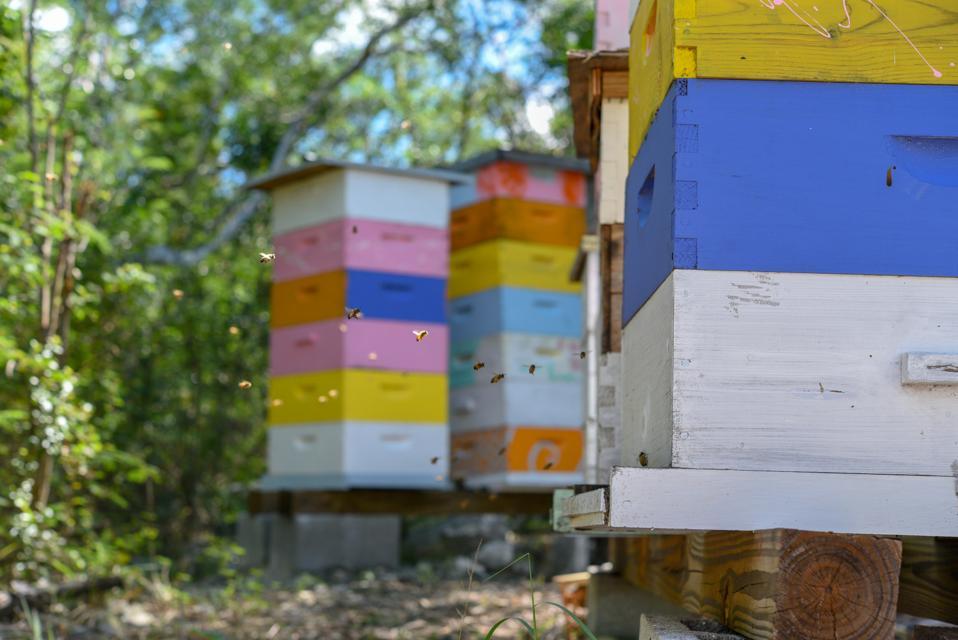 Bees returning to hive boxes in Exuma, Bahamas.