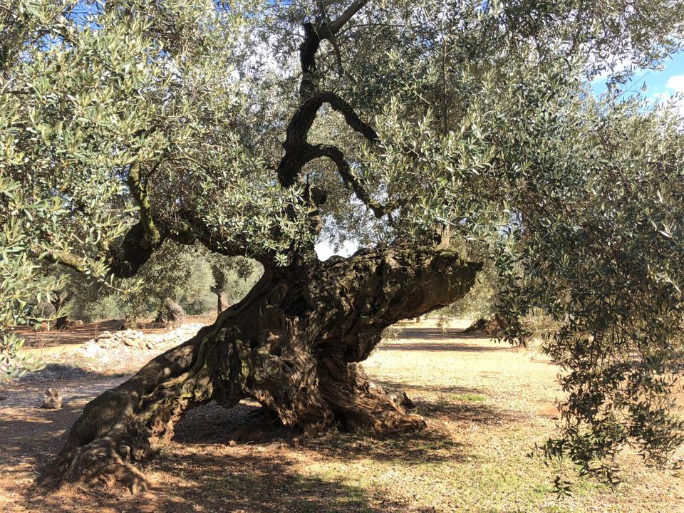 Millenary olive tree, Valencia, Spain