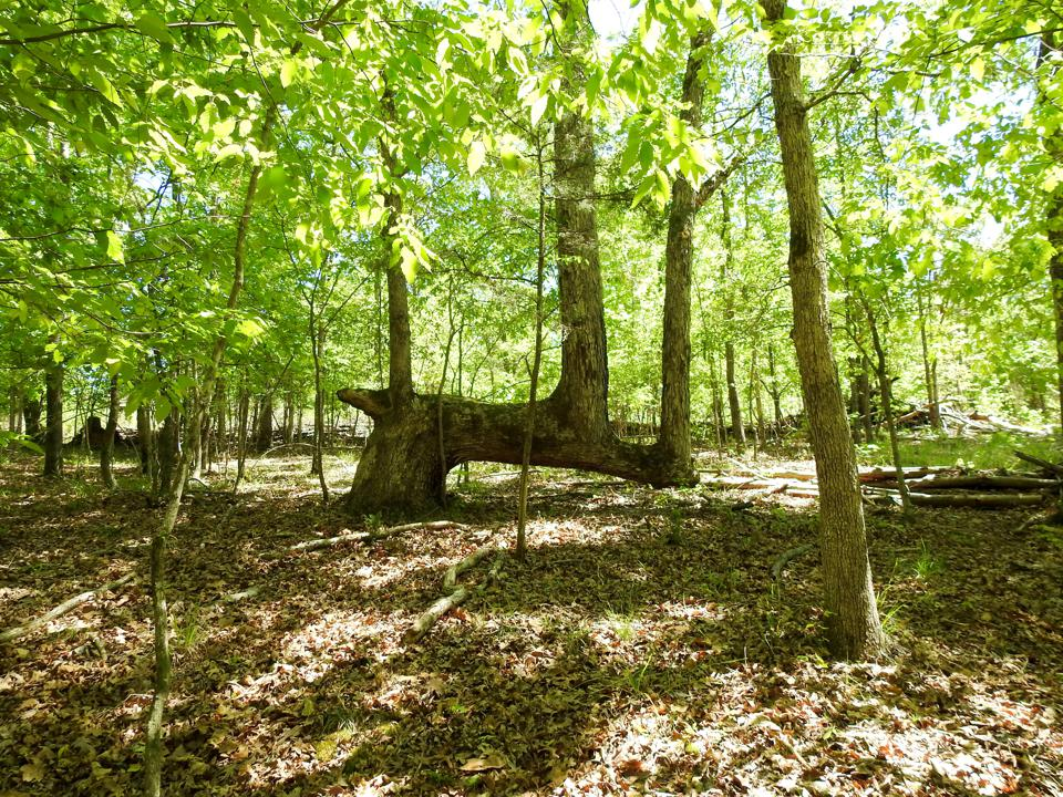Trail Tree, Proud Spirit Horse Sanctuary, Georgia
