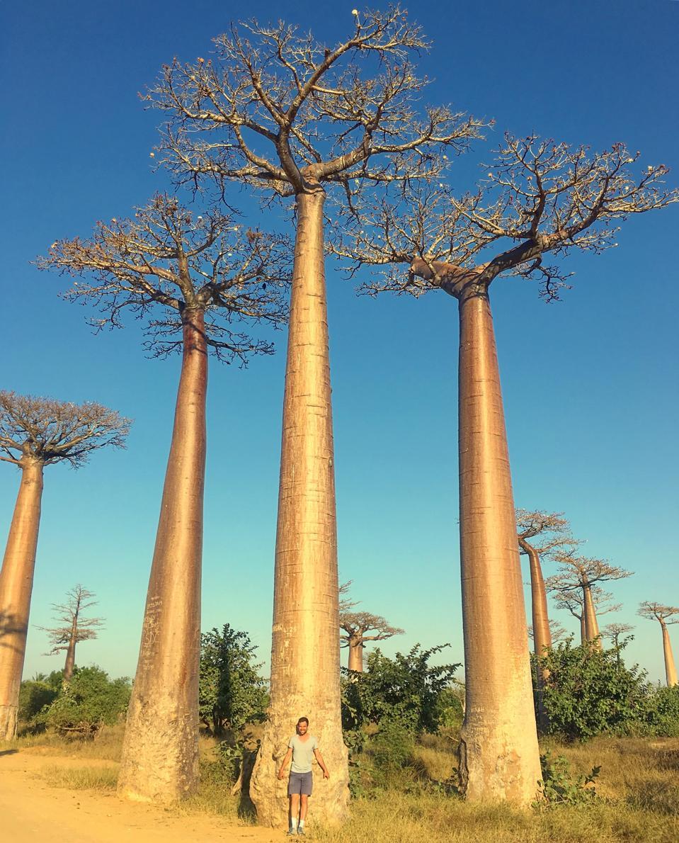 Baobab trees, Madagascar, Africa