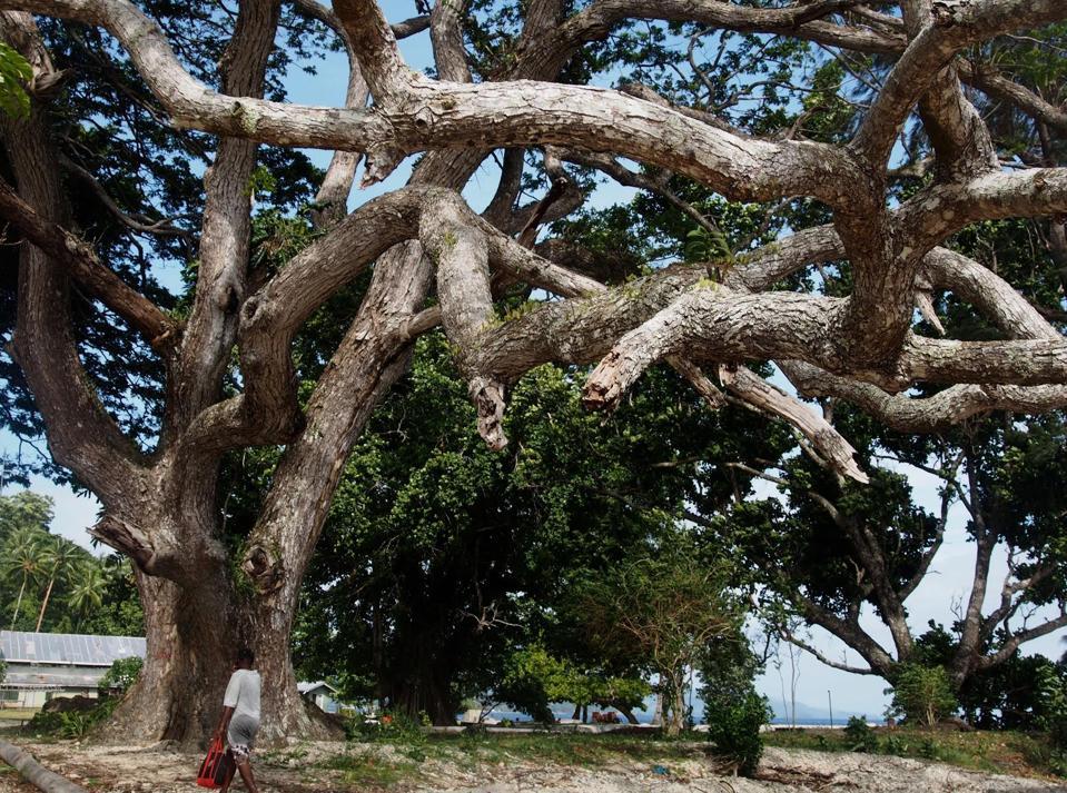 Papua New Guinea Oak, Island of Kwado, Papua New Guinea