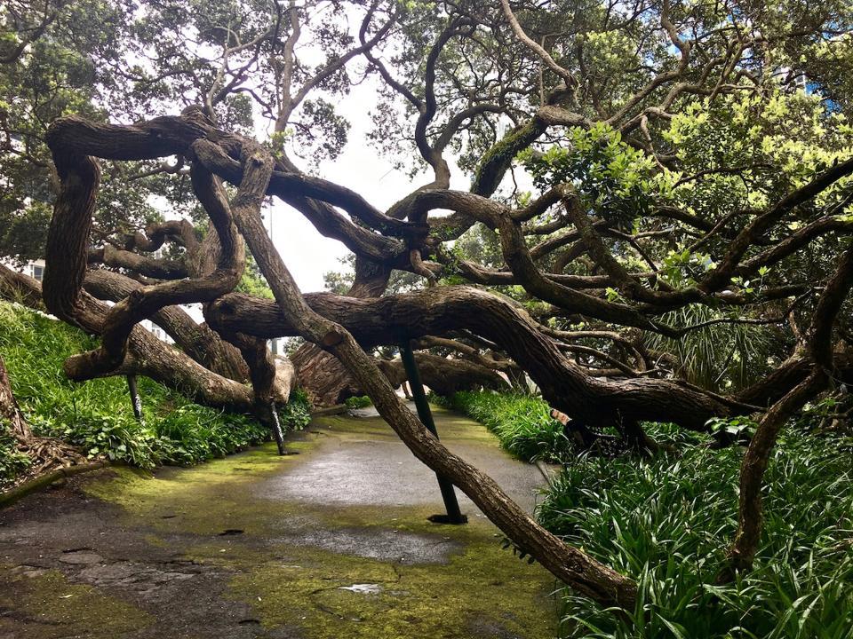 Pohutukawa (New Zealand Christmas Tree), New Zealand