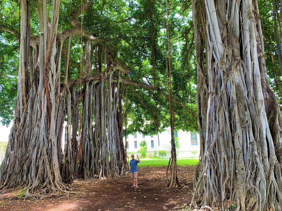 Banyan Trees, Oahu, Hawaii