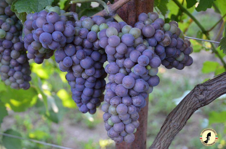 Bunches of ripe Pinot Grigio grapes in the delle Venezie area in northeastern Italy