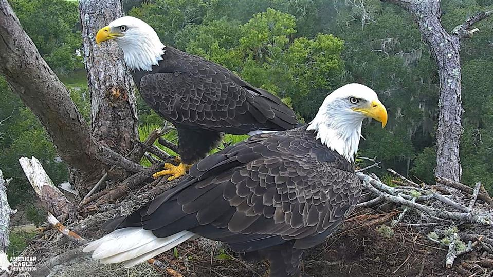 A pair of bald eagles in Northeast Florida