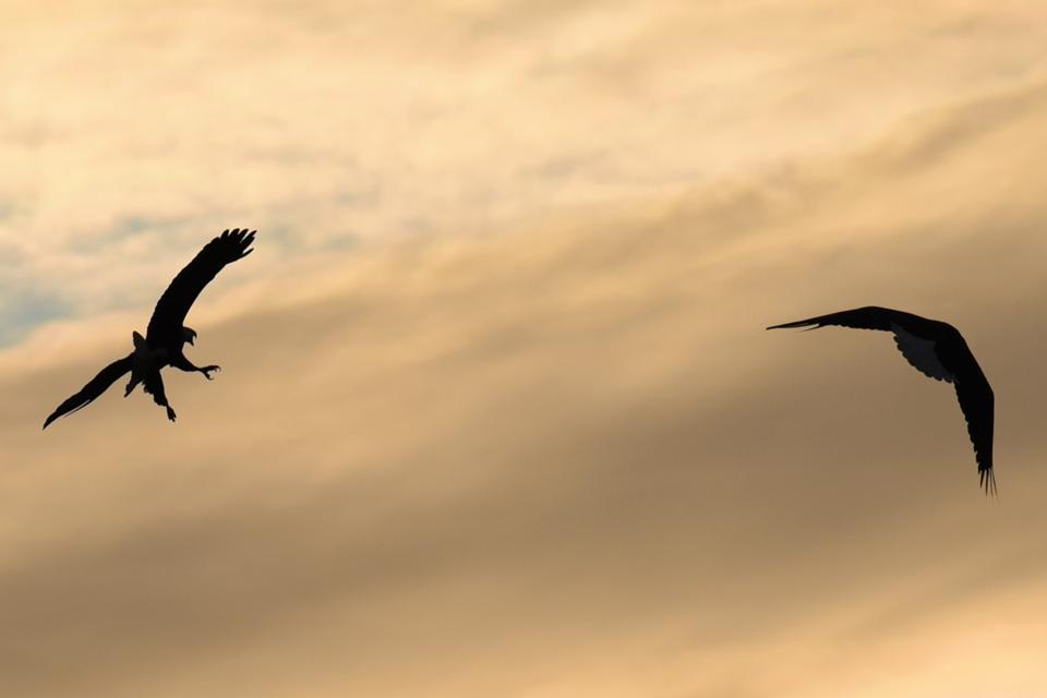 Bald eagles fighting