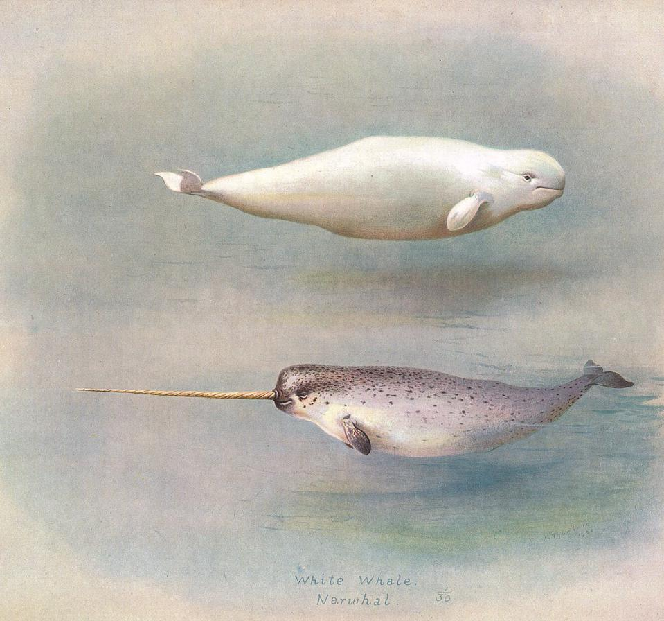 1156px-White_Whale_Narwhal_150