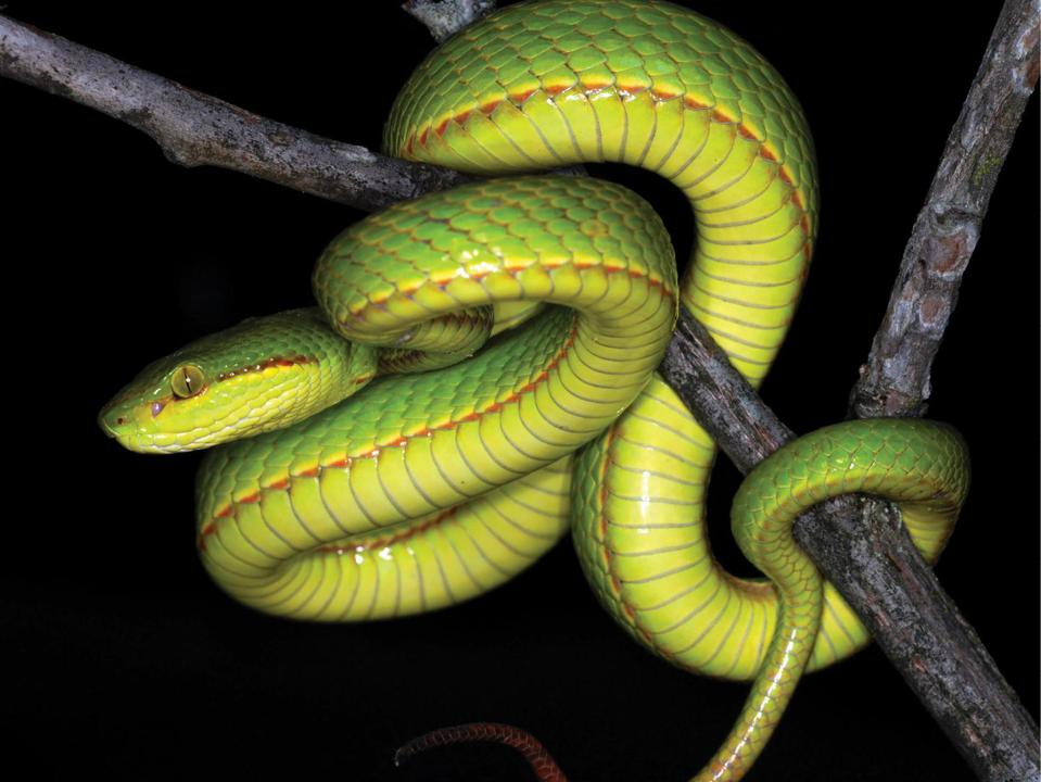 Color photo of a bright green snake with an orange stripe curled around a tree branch