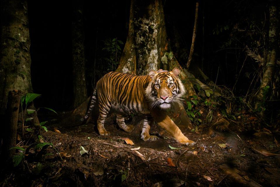 Sumatran tiger, Sumatra, Indonesia by 'New Big 5' supporter Steve Winter.
