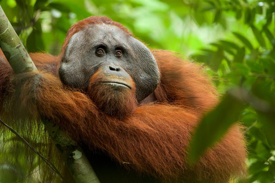 Tim Laman's image of a Bornean orangutan, Gunung Palung National Park, Indonesia