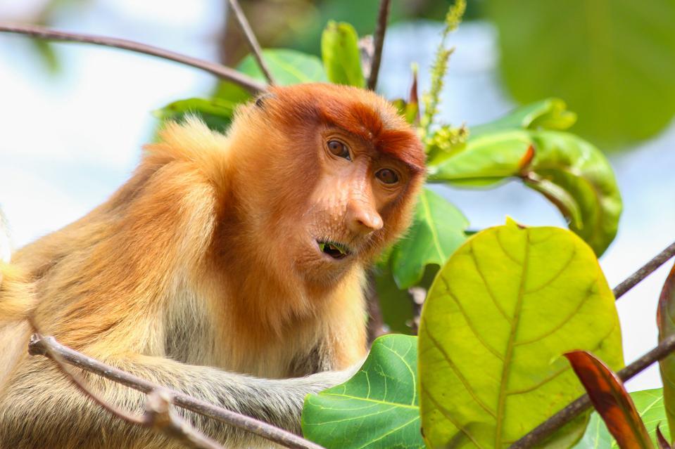 Graeme Green's image of a Proboscis Monkey, Bako National Park, Malaysia.